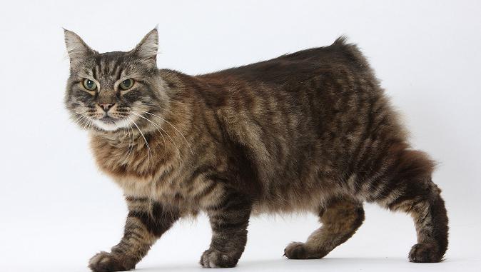 најскупље мачке