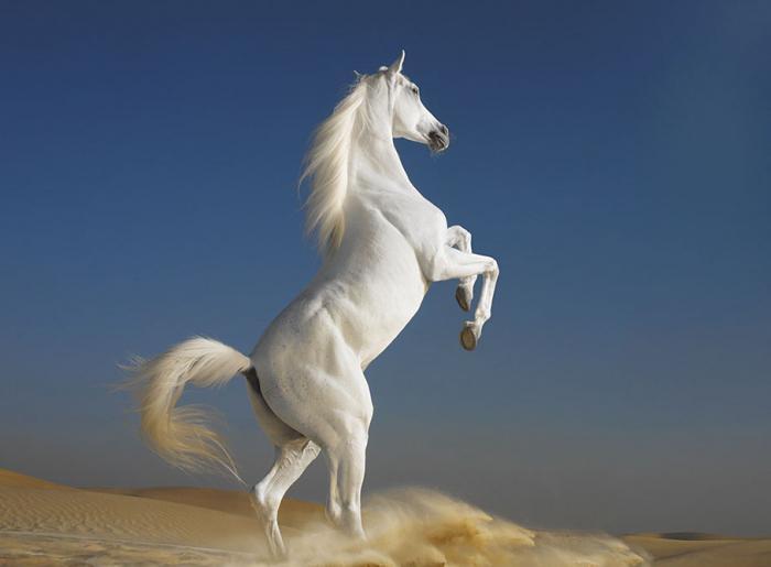 nejdražšího koně na světě