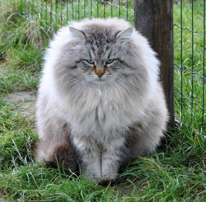 Velika debela dlakava maca