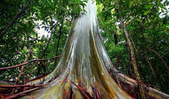 Najviše stablo na svijetu