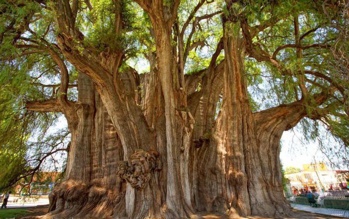Velika stabla svijeta