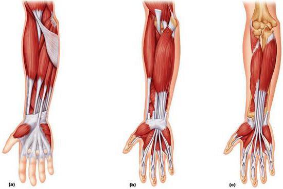 mišice podlakti