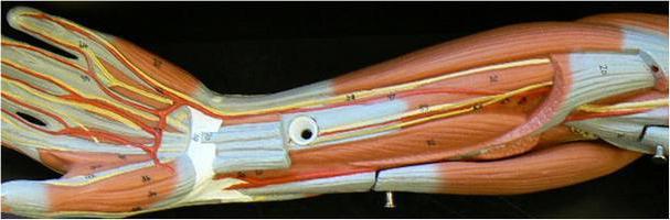 mišične skupine podlakti
