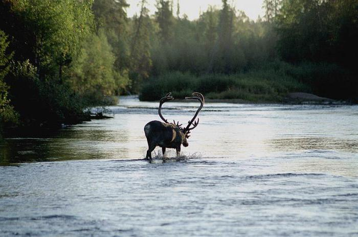 Laponska rezervata živali