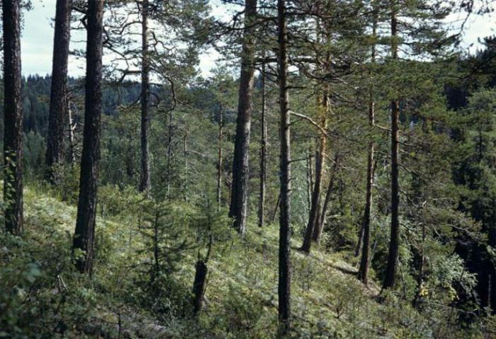 Državna šuma u Laplandu