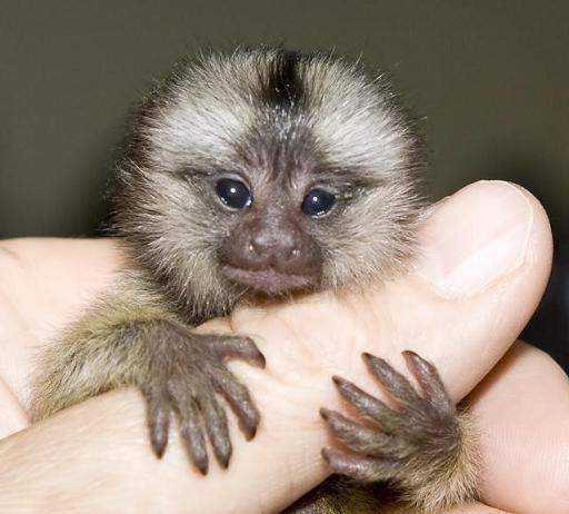 най-малката маймуна в света