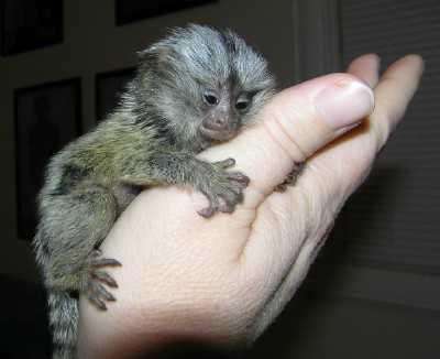 marmozetka най-малката в света маймуна