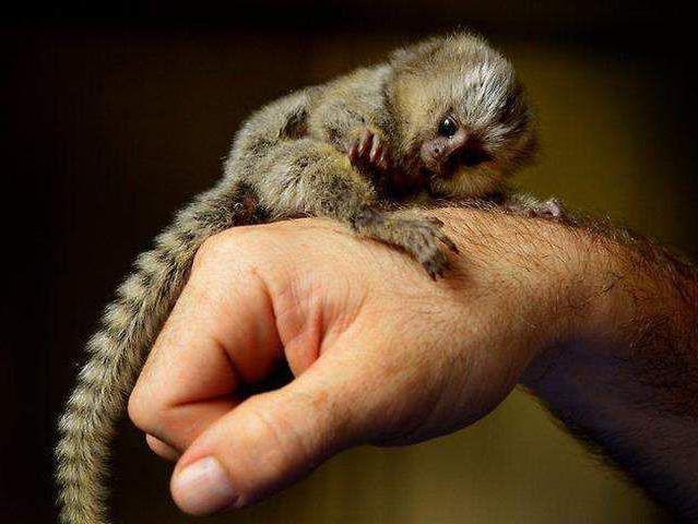 най-малката маймуна на световната снимка