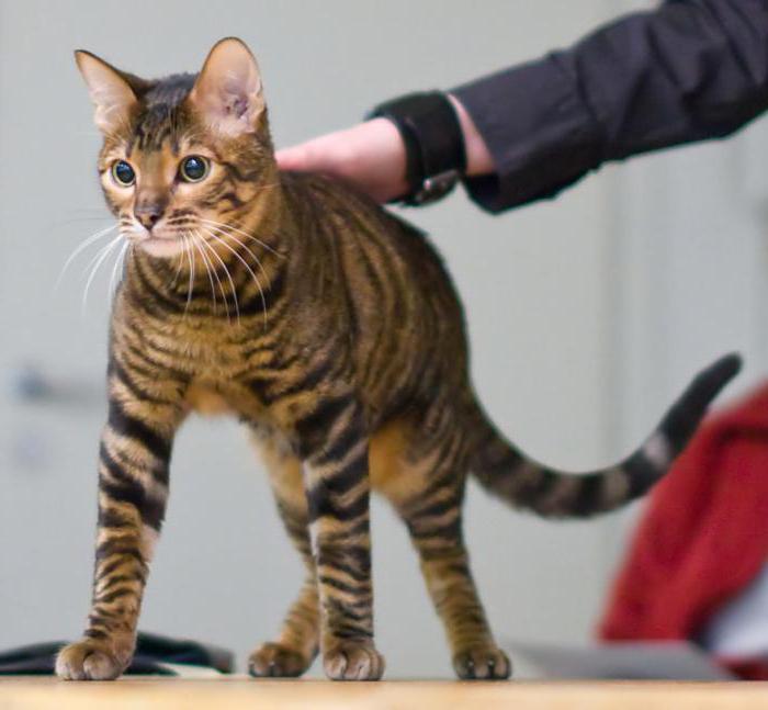Velika crna mačka magarca maca