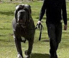 il cane più forte cresce sul pianeta