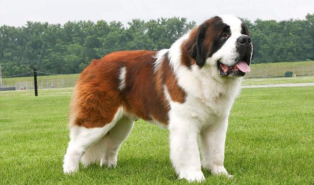 le più grandi e forti razze canine del mondo