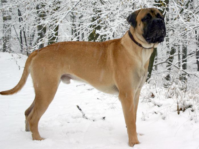 le razze di cani più aggressive