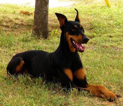 списък на най-мощните и опасни кучета