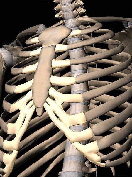 lidské hrudní struktury vnitřních orgánů