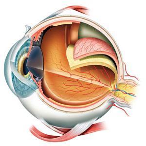 funzione del bulbo oculare