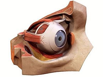 struttura del bulbo oculare