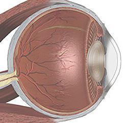 struttura del bulbo oculare umano