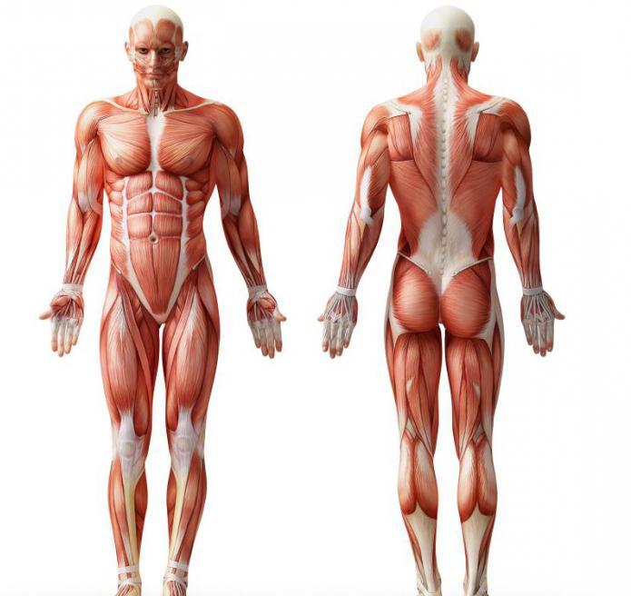 Структурата на мускулите на човека.