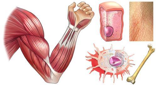Структурата и функцията на мускулите.