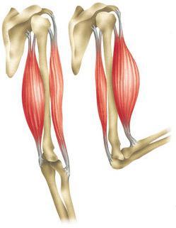 структура на скелетните мускули