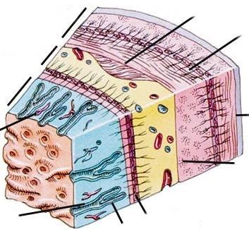 слојеви желуца