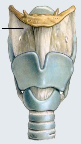 la struttura della gola e della laringe