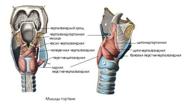 struttura della gola con descrizione