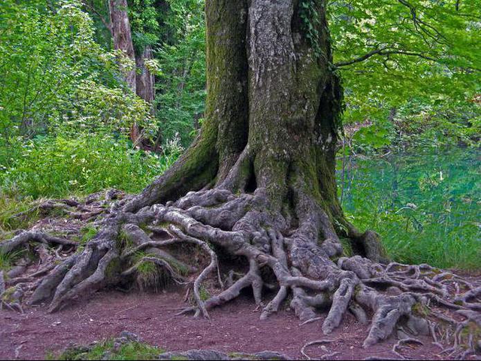starý kmen stromu