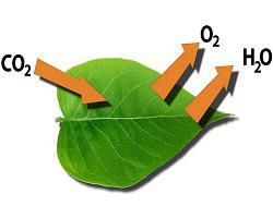 маса за фотосинтеза