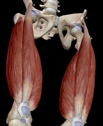 mišiće stražnjih bedara