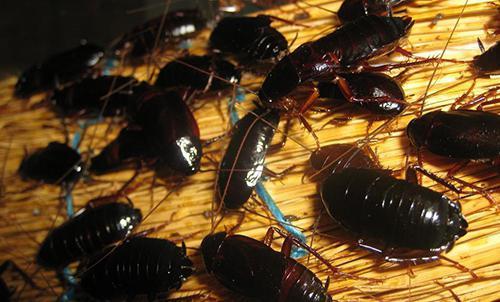 spanje s ščurki