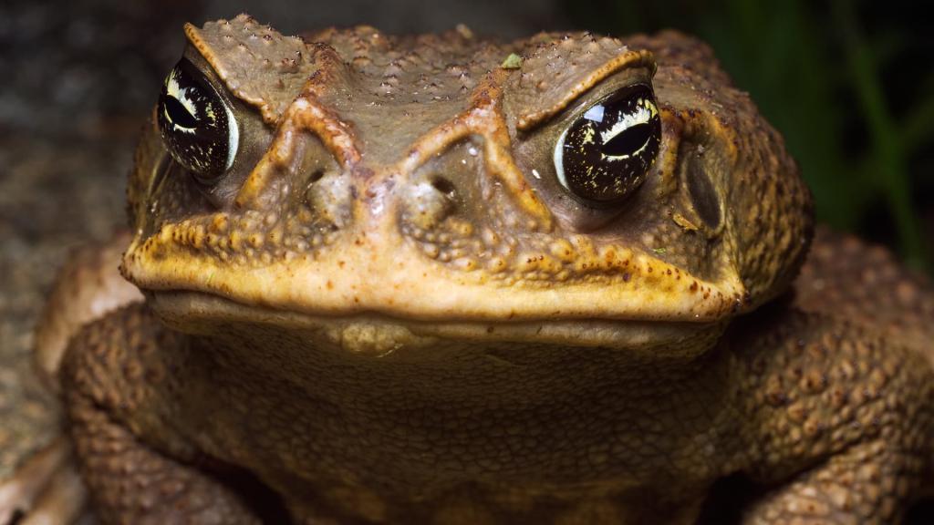 navečer žabe aha