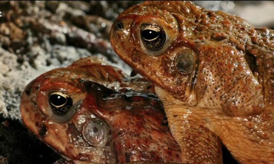 pro agu toad