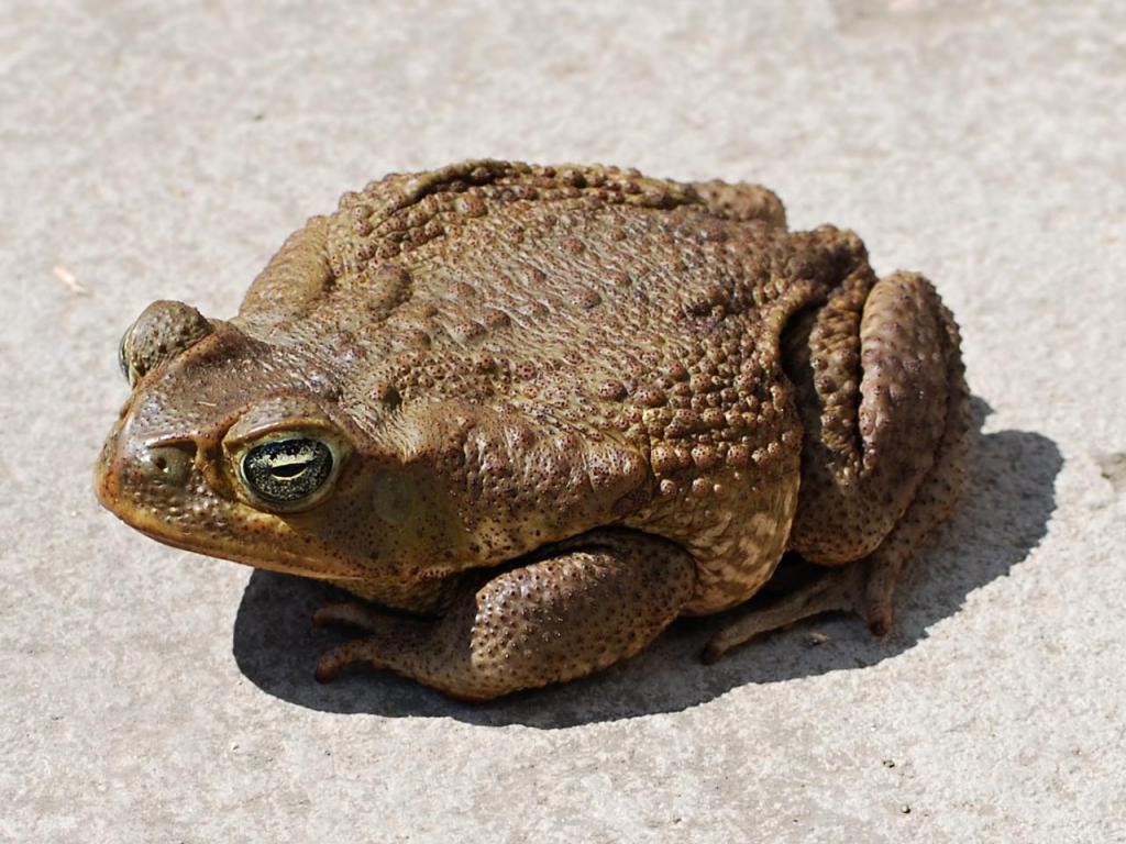 žaba aha poslijepodne