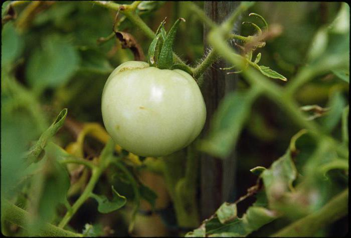 pomidorowa jagoda lub warzywo lub owoc