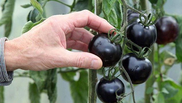 pomidorowa jagoda lub warzywo