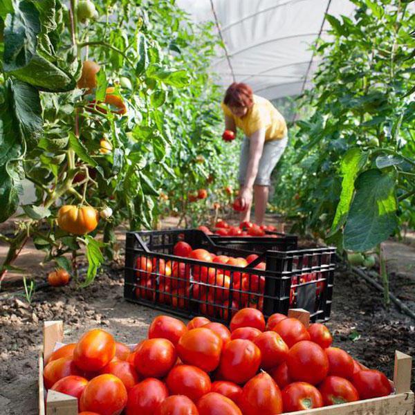 Tomato je pohostinný popis