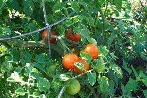 разнообразие от домати сибирски рано
