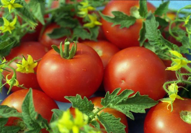 rajčica: