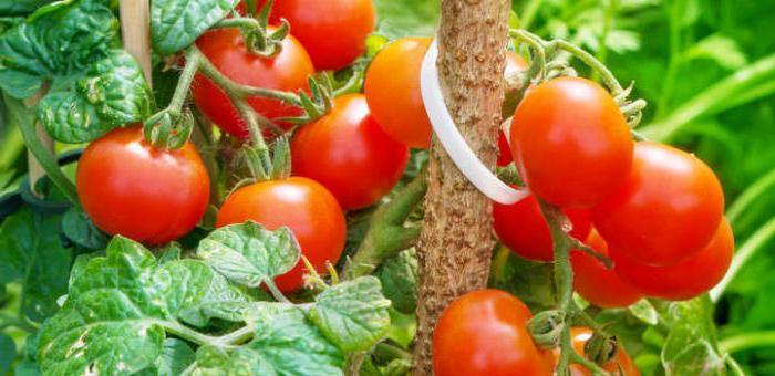 Rivestimenti per lievito di pomodoro
