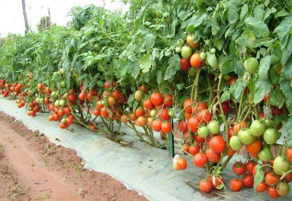 Condire il pomodoro dopo aver piantato il lievito