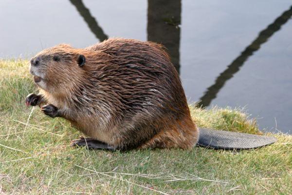Beaver lov je zarobljen