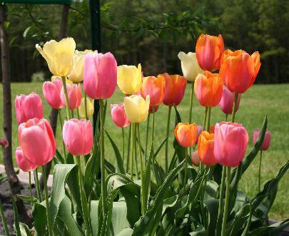 tulipány rostou a péče