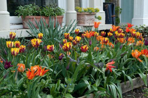 kdy rostli tulipány