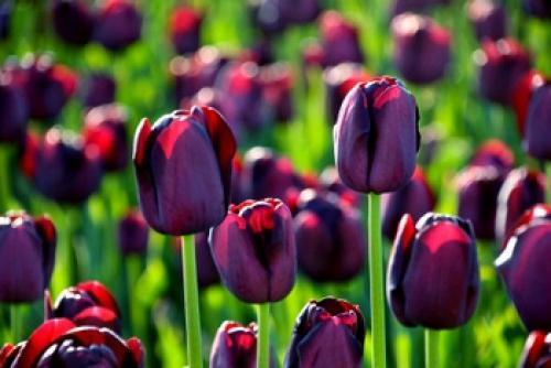 sajenje in nega tulipanov