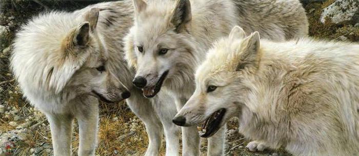 tundra vuk