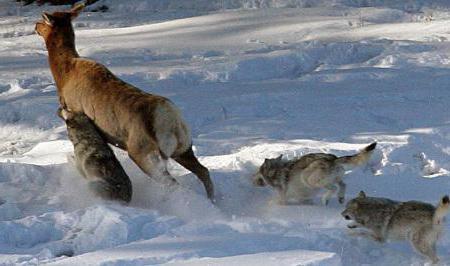 opis tundre vuka