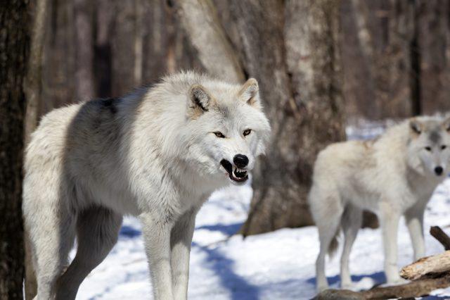 tundra vuk zanimljivosti