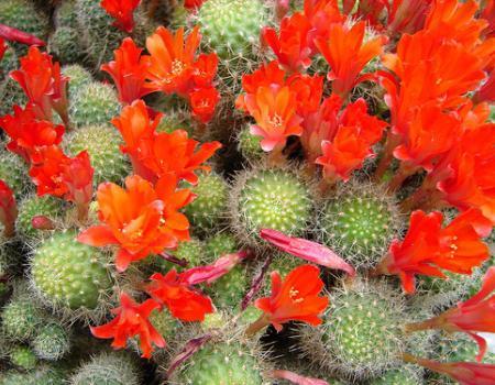 vrste kaktusov