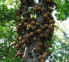 tipi di alberi di noce